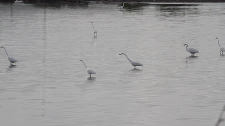 Water birds - snowy egret - marching around a pond on the caribbean island of Antigua