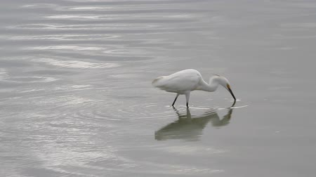 bird sanctuary : Water bird - snowy egret - marching around a pond on the caribbean island of Antigua Stock Footage