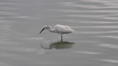 шлейф : Water bird - snowy egret - marching around a pond on the caribbean island of Antigua Стоковые видеозаписи