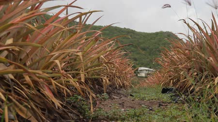 ananas : Antiguan Black Pineapple a local specialty and the worlds sweetest pineapple is grown on this farm at Cades Bay