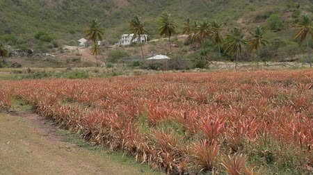 Antiguan Black Pineapple a local specialty and the worlds sweetest pineapple is grown on this farm at Cades Bay