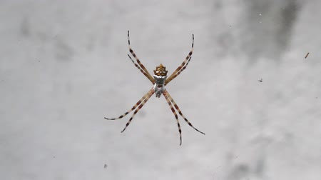 Caribbean silver spider on the french caribbean island of Saint Barthelemy
