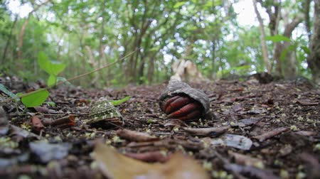 caracol : Caribbean hermit crab on Saint Eustatius Quill National Park Stock Footage