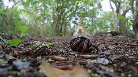 eustatius : Caribbean hermit crab on Saint Eustatius Quill National Park Stock Footage