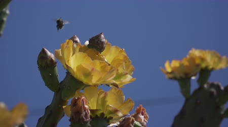 шмель : Slow motion of flying bumblebee and a blossoming fig cactus