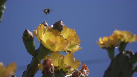 ficus : Slow motion of flying bumblebee and a blossoming fig cactus