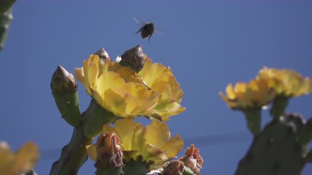 ficus : Slow motion of flying bumblebee and blossoming fig cactus
