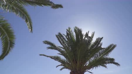 palms isolated : Branches of a palm tree moving in a strong breeze Stock Footage