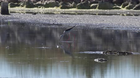 okřídlený : Black winged stilt tasting in shallow water at a lagoon in southern France