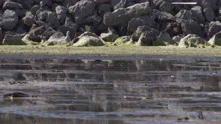 salt lagoon : Black winged stilt foraging in shallow water at a lagoon near the Mediterranean coast in southern France