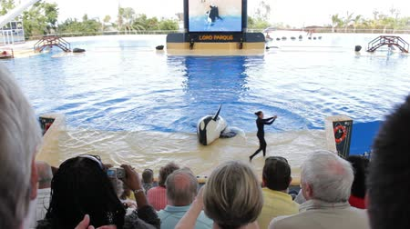 killer whale : Orca jumps out of a pool during Killer whale show Stock Footage