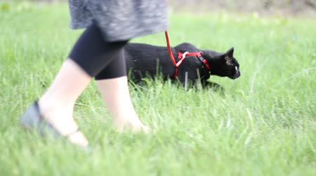 tame animal : Cat on leash in grass 3 Stock Footage