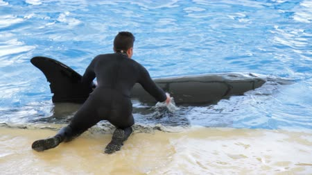killer whale : Trainer strokes orca during show Stock Footage