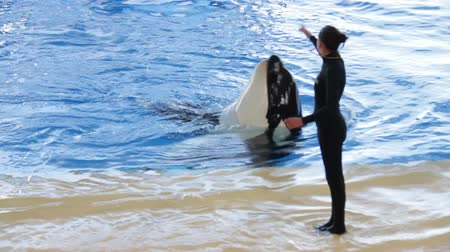 killer whale : Orca dancing with trainer during killer whale show