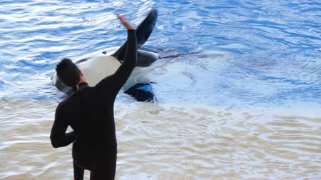 killer whale : Orca does tricks during  killer whale show