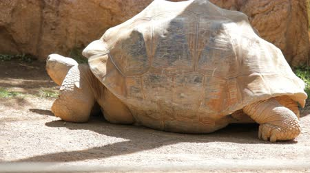 gigante : Giant turtle moves his head in animal park