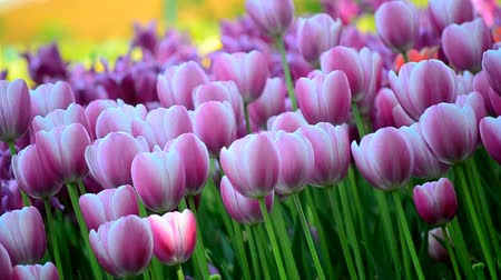yay : a field of tulips Stok Video