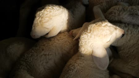 ewe : The little new sheep are asleep and twitch in a dream