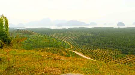 palm oil plantation : Plantations of oil palm tree rows are seen from above. Tropical landscape.