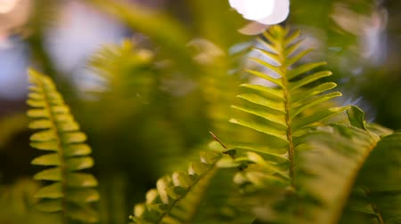 невозделанный : Macro tropical background with spring juicy fresh foliage of green young fern Стоковые видеозаписи