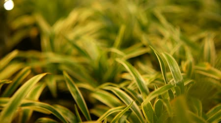 csillogás : Macro tropical background with spring juicy fresh green young grass