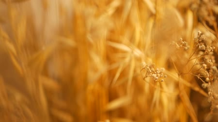 owies : CLose-up of still-life ears for background. Bouquet from dry gold spikes of cereals. Organic natural texture with agricultural crops. Blured shot of stalks and seeds of wheat. Healthy diet or bakery. Wideo