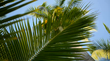 kokosový ořech : Coconut palm trees crowns against blue sunny sky perspective view from the ground. Tropical travel background landscape at paradise coast. Summer beach nature scene with green leaves sway in the wind
