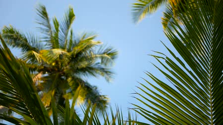 palmtree : Coconut palm trees crowns against blue sunny sky perspective view from the ground. Tropical travel background landscape at paradise coast. Summer beach nature scene with green leaves sway in the wind