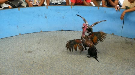 cruelty : Fighting cock injure enemy on arena while asian people bet money, traditional bloody illegal cockfighting competition. Cruel agressive violent animal death show, game cocks is popular gambling sport.