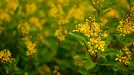 ramoscello : Spring field of small yellow flowers of Galphimia. Evergreen shrub of star-shaped Golden Thryallis glauca. Ornamental bloom in natural sunlight of Gold Shower. Summer meadow background, soft focus.