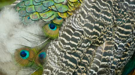 cristatus : Elegant wild exotic bird with colorful artistic feathers. Close up of peacock textured plumage. Flying Indian green peafowl (Pavo cristatus) in real nature, vibrant pattern of luminous tail and wings.