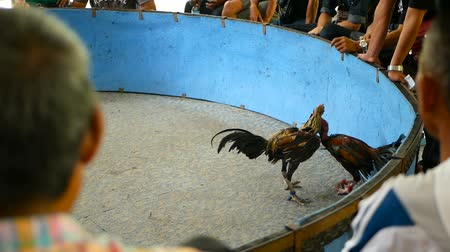 interdiction : Fighting cock injure enemy on arena while asian people bet money, traditional bloody illegal cockfighting competition. Cruel agressive violent animal death show, game cocks is popular gambling sport.