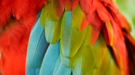 escarlate : Close up of Red Amazon Scarlet Macaw parrot or Ara macao, in tropical jungle forest. Wildlife Colorful selective focus portrait of bird with vibrant feathers from exotic nature. Stock Footage