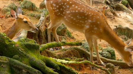 лань : Wildlife scene. Beautiful young fallow whitetail deer, wild mammal animal in forest surrounding. Spotted, Chitals, Cheetal, Axis, Cervus nippon or Japanese deer grazing in natural habitat in the sun. Стоковые видеозаписи