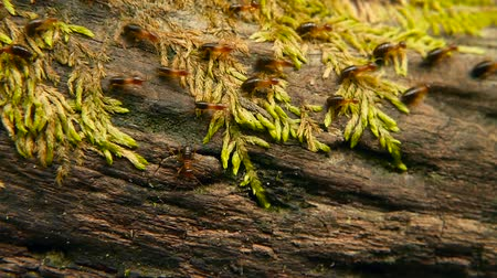 termite : Brood of black worker termite carrying soil to build nest, tree bark with moss. Eusocial insects colony marching in the jungle. Swarm migration of ants on wood overgrown with greenery. selective focus Stock Footage
