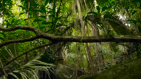 szubtropikus : Wild, vivid vegetation of deep misty tropical forest. Jungle landscape. Interior of exotic asia woods. Mossy lianas dangling from the rainforest canopy. Green natural background of subtropical forest.