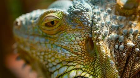 ящерица : Sleeping dragon. Close-up portrait of a resting vibrant Lizard. Selective focus. Green Iguanas are native to tropical areas of Mexico, Central America, South America, and the Caribbean Стоковые видеозаписи