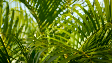 fényesen : Blur tropical green palm leaf with sun light, abstract natural background with bokeh. Defocused Lush Foliage, veines, striped exotic fresh juicy leaves in shadow. Ecology, summer and vacation concept. Stock mozgókép