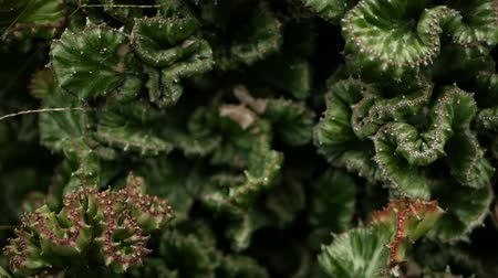 perene : Leafless, spiny, evergreen desert plant cultivated as ornamental in botanical garden. Succulents background, natural pattern. Euphorbia crested cactus in greenhouse. Coral zigzag with pink spines. Stock Footage