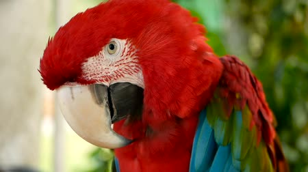 papagaio : Close up of Red Amazon Scarlet Macaw parrot or Ara macao, in tropical jungle forest. Wildlife Colorful selective focus portrait of bird with vibrant feathers from exotic nature. Stock Footage