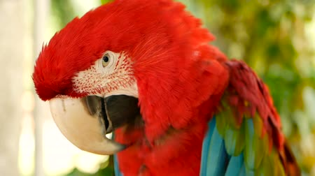 ara : Close up of Red Amazon Scarlet Macaw parrot or Ara macao, in tropical jungle forest. Wildlife Colorful selective focus portrait of bird with vibrant feathers from exotic nature. Stock Footage