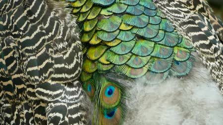 életerő : Elegant wild exotic bird with colorful artistic feathers. Close up of peacock textured plumage. Flying Indian green peafowl (Pavo cristatus) in real nature, vibrant pattern of luminous tail and wings.