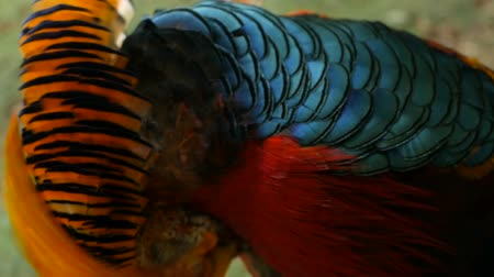 феникс : Magnificent elegant male of Chinese Red Golden pheasant, Chrysolophus Pictus outdoors. Dazzling Conspicuous Handsome wild exotic bird with Spectacular Plumage and Colorful tail Feathers in real nature