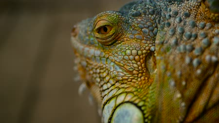 игуана : Sleeping dragon. Close-up portrait of a resting vibrant Lizard. Selective focus. Green Iguanas are native to tropical areas of Mexico, Central America, South America, and the Caribbean Стоковые видеозаписи