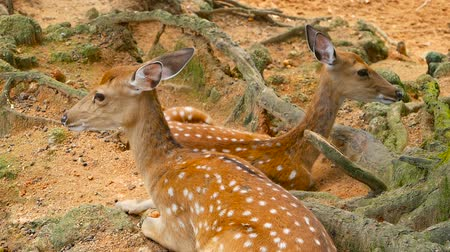 boynuzları : Wildlife scene. Beautiful young fallow whitetail deer, wild mammal animal in forest surrounding. Spotted, Chitals, Cheetal, Axis, Cervus nippon or Japanese deer grazing in natural habitat in the sun. Stok Video
