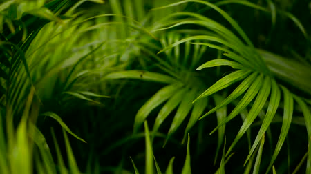 bulanik : Blur tropical green palm leaf with sun light, abstract natural background with bokeh. Defocused Lush Foliage, veines, striped exotic fresh juicy leaves in shadow. Ecology, summer and vacation concept. Stok Video