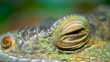 lucertola : Sleeping dragon. Close-up portrait of a resting vibrant Lizard. Selective focus. Green Iguanas are native to tropical areas of Mexico, Central America, South America, and the Caribbean Filmati Stock