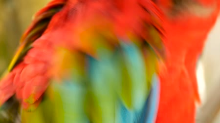 pluma : Close up of Red Amazon Scarlet Macaw parrot or Ara macao, in tropical jungle forest. Wildlife Colorful selective focus portrait of bird with vibrant feathers from exotic nature. Stock Footage