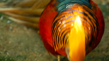 godło : Magnificent elegant male of Chinese Red Golden pheasant, Chrysolophus Pictus outdoors. Dazzling Conspicuous Handsome wild exotic bird with Spectacular Plumage and Colorful tail Feathers in real nature