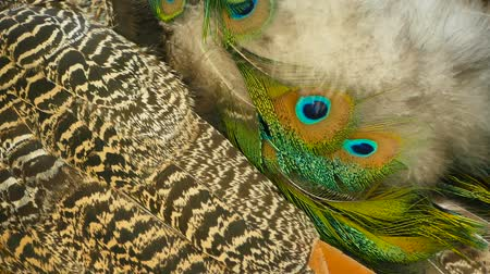 influenzy : Elegant wild exotic bird with colorful artistic feathers. Close up of peacock textured plumage. Flying Indian green peafowl (Pavo cristatus) in real nature, vibrant pattern of luminous tail and wings.